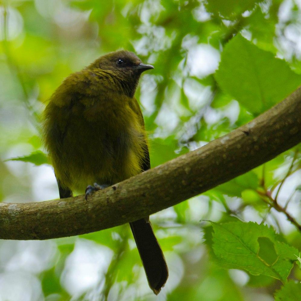 Anothornis meanura [BELLBIRD] New Zealand