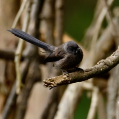 Rhipidura fuliginosa [BLACK FANTAIL] New Zealand