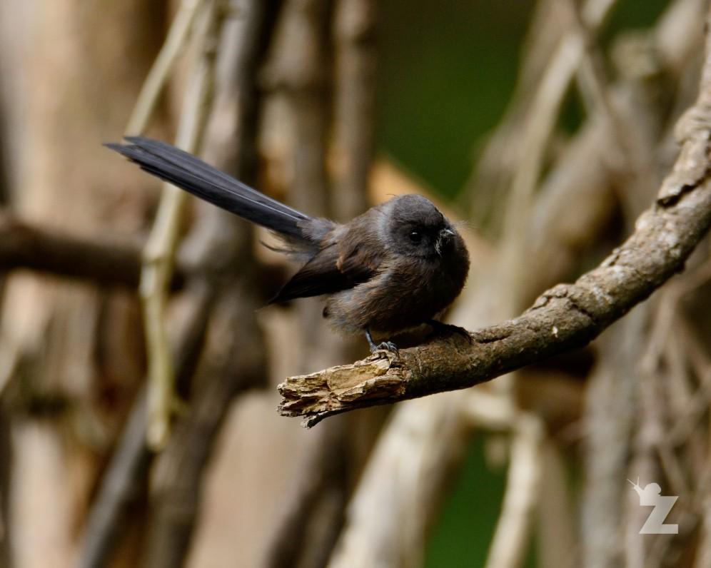 Rhipidura fuliginosa [BLACK FANTAIL] New Zealand