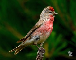 Carduelis flammea [REDPOLL] New Zealand