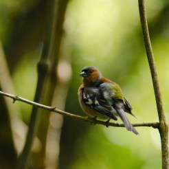 Fringilla coelebs [CHAFFINCH] New Zealand