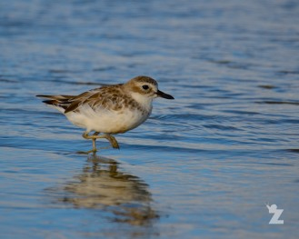 Charadrius obscurus [NEW ZEALAND DOTTEREL] New Zealand