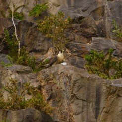 Falco peregrinus [PEREGRINE FALCON[ England
