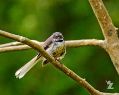Rhipidura fuliginosa [PIED FANTAIL] New Zealand