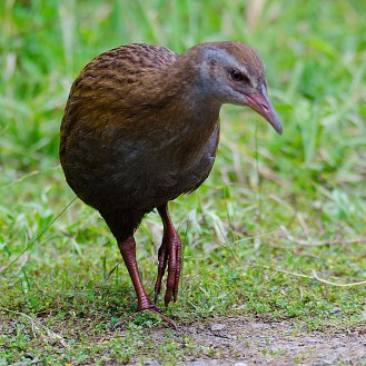 Gallirallus australis [WEKA] New Zealand