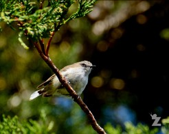 Gerygone igata [GREY WARBLER] New Zealand