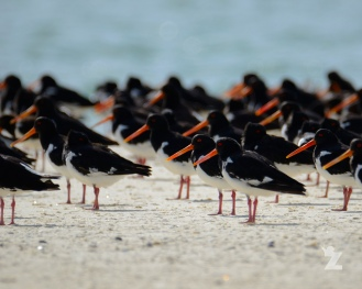 Haematopus sp. [OYSTERCATCHER] New Zealand