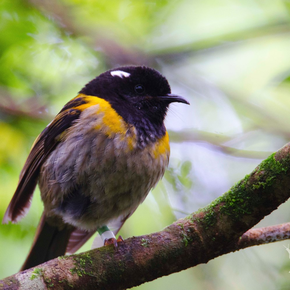 Notiomystis cincta [HIHI] New Zealand