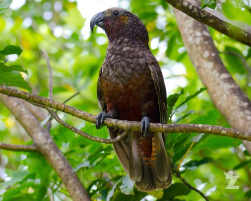 Nestor meridionalis [KAKA] New Zealand
