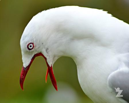 Larus novaehollandiae [RED-BILLED GULL] New Zealand