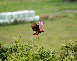 Circus approximans [MARSH HARRIER] New Zealand