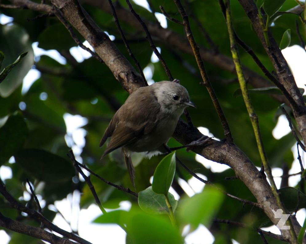 Mohoua albicilla [WHITEHEAD] New Zealand