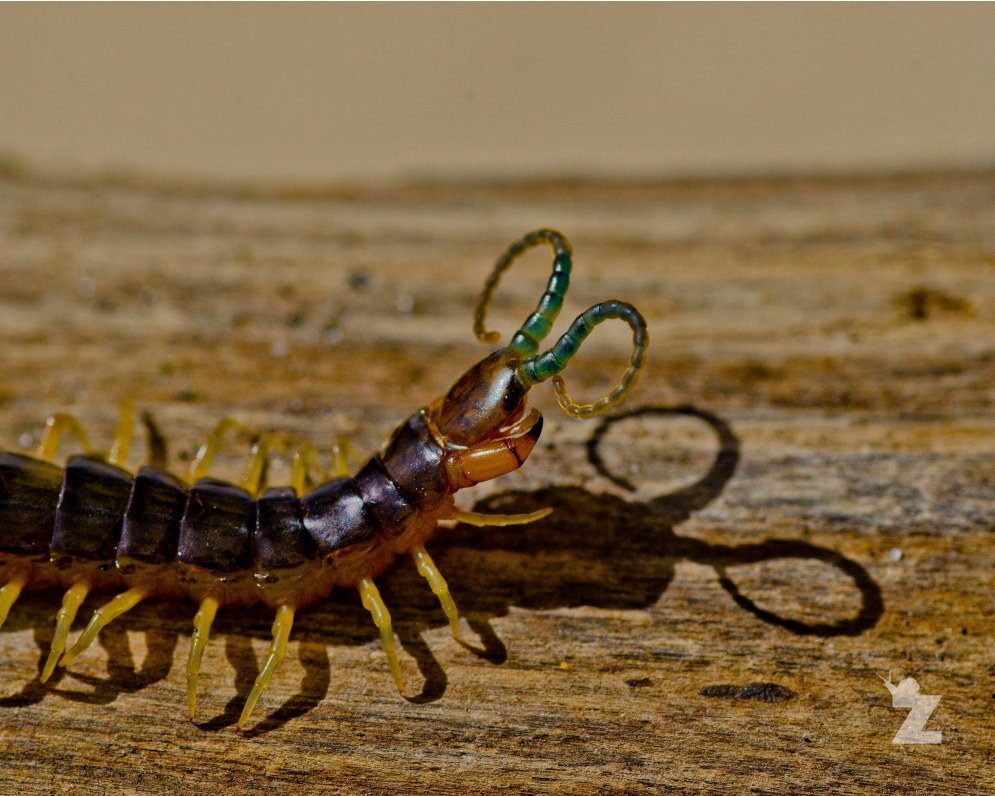 Scolopendromorpha [NATIVE NEW ZEALAND CENTIPEDE] New Zealand