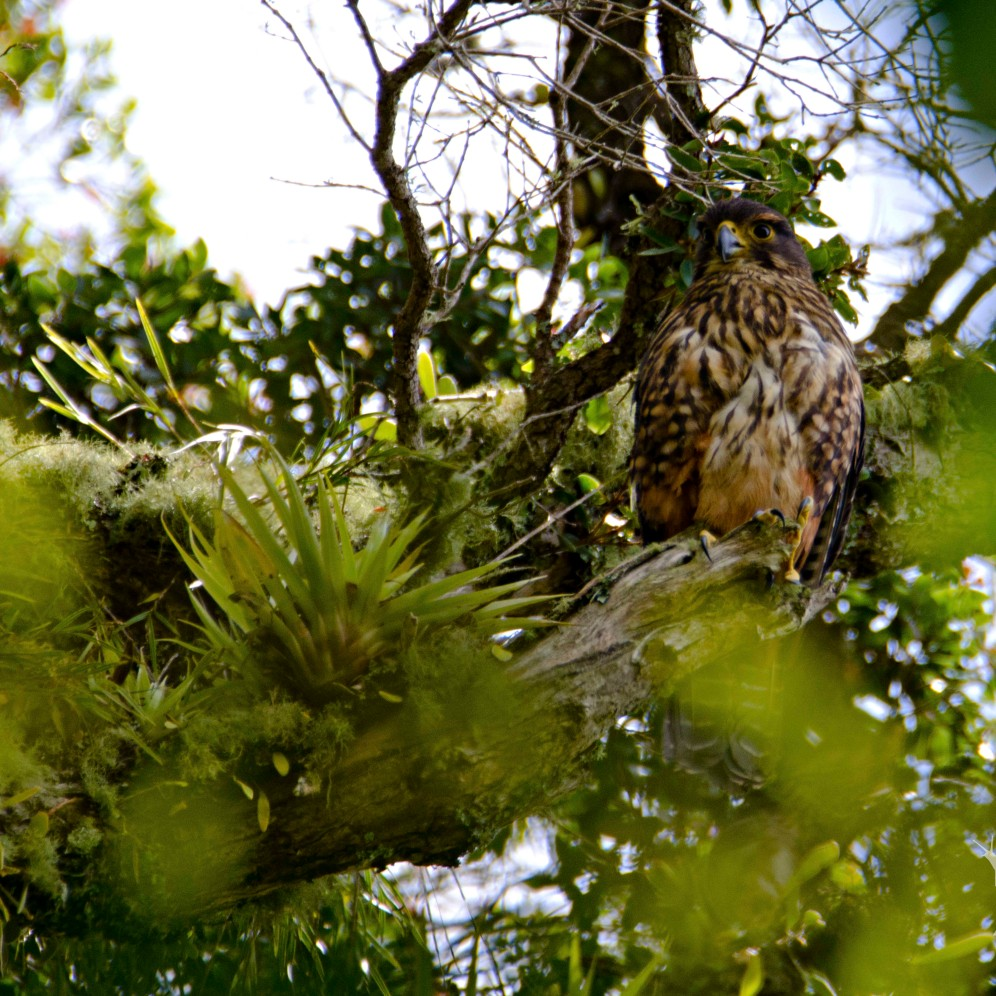 Falco novaeseelandiae [NEW ZEALAND FALCON] New Zealand