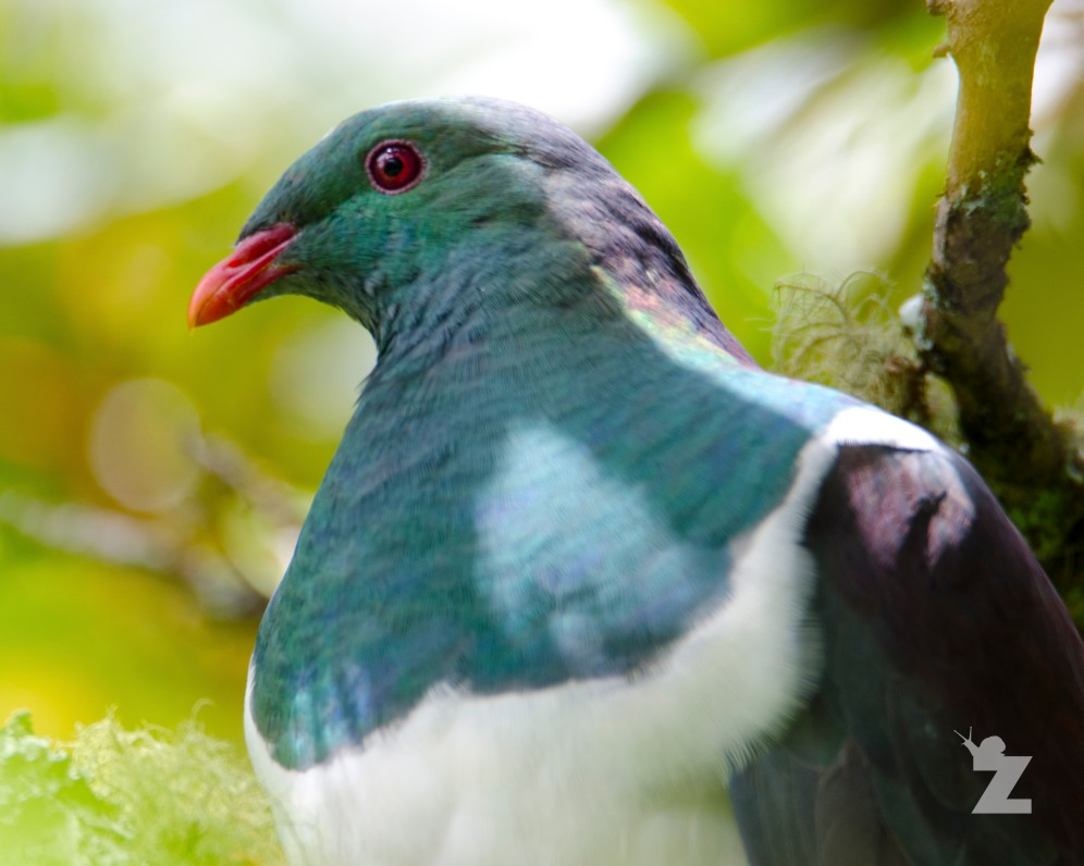 Hemiphaga novaeseelandiae [NEW ZEALAND WOOD PIGEON] New Zealand