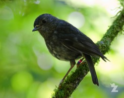 Petroica longipes [NORTH ISLAND ROBIN] New Zealand