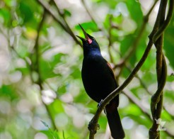 Philesturnus carunculatus [SADDLEBACK] New Zealand