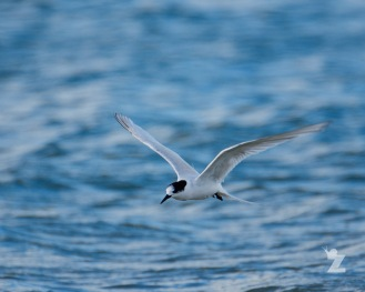 Sterna striata [WHITE-FRONTED TERN] New Zealand