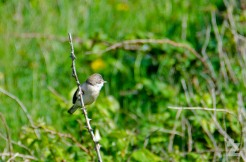 Sylvia communis [COMMON WHITETHROAT] England, Sand Point 25.05.2017