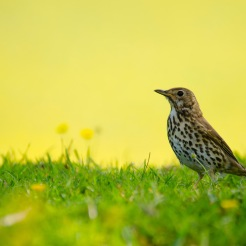 Turdus philomelos [SONG THRUSH] England, 21.05.17