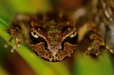 Meeting Archey's Frog – The World's Most Evolutionarily Distinct and Globally Endangered (EDGE) Amphibian Species: https://zoomologyblog.wordpress.com/2017/02/14/meeting-archeys-frog-the-worlds-most-evolutionarily-distinct-and-globally-endangered-edge-amphibian-species/