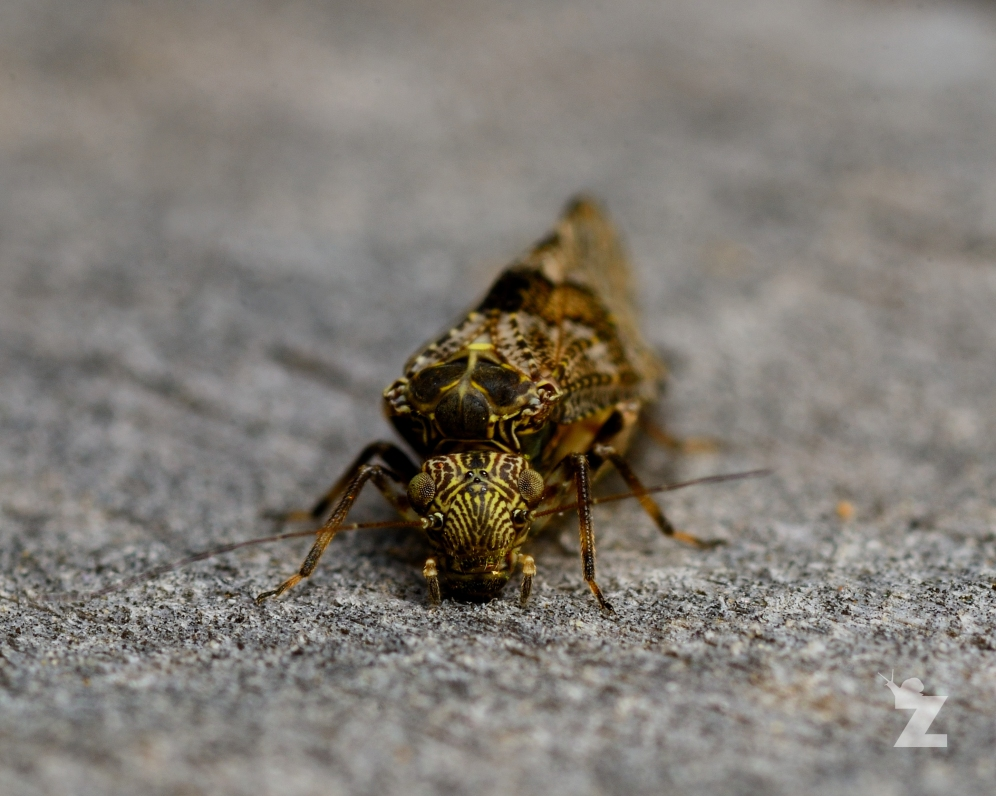 Nimbopsocus australis [BARK LOUSE] New Zealand
