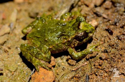 Hochstetter's Frog (Leiopelma hochstetteri)