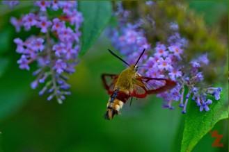 Sphingids of Spain: The Broad-bordered Bee Hawk-moth: https://zoomologyblog.wordpress.com/2017/08/08/sphingids-of-spain-the-broad-bordered-bee-hawk-moth/