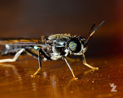 Hermetia illucens [AMERICAN SOLDIER FLY] New Zealand