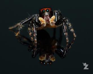 Hypoblemum albovittatum [HOUSE HOPPER JUMPING SPIDER] New Zealand