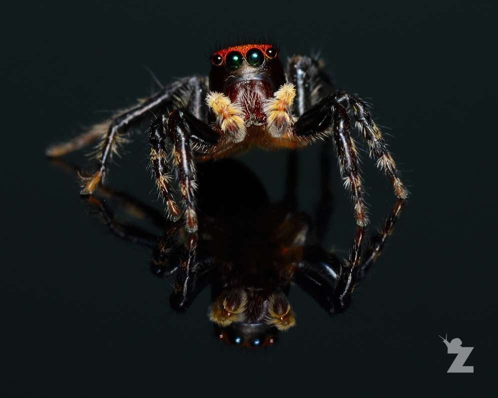 Hypoblemum albovittatum [HOUSE HOPPER JUMPING SPIDER] New Zealand