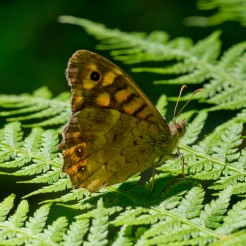 Lasiommata megera [WALL BROWN] Usson-du-poitou, France 24.07.2017