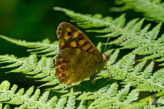 Lasiommata megera [WALL BROWN] Usson-du-poitou, France 24.07.2017