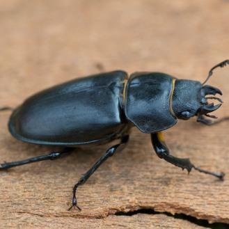 On the Road: Stag Beetles (Lucanus cervus): https://zoomologyblog.wordpress.com/2017/08/14/on-the-road-stag-beetles-lucanus-cervus/