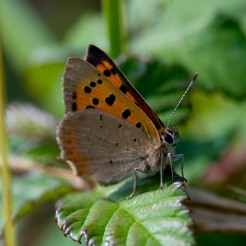 Lycaena phlaeas [SMALL COPPER] Crooks Peak, England, 27.08.2017
