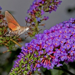Macroglossum stellatarum [HUMMINGBIRD HAWK MOTH] Goizueta, Basque Country 31.07.2017