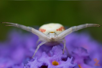 Misumena vatia [FLOWER CRAB SPIDER] Goizueta, Basque Country 31.07.2017 #1