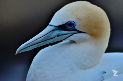 Morus serrator [AUSTRALASIAN GANNET] New Zealand