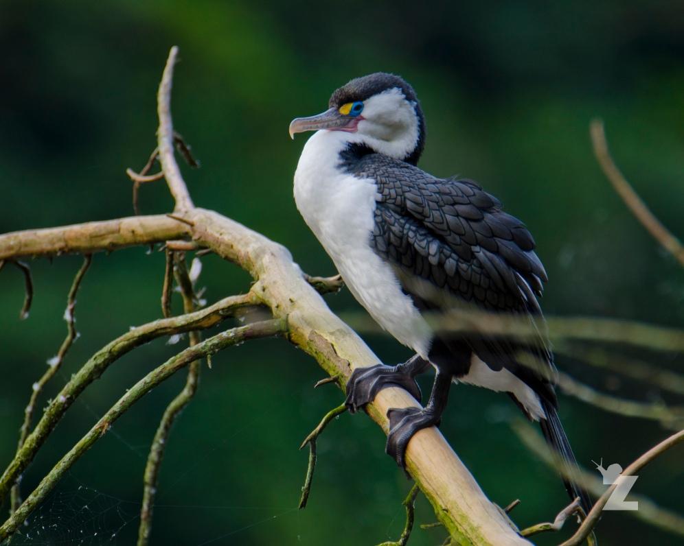 Phalacrocorax varius [PIED SHAG] New Zealand