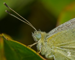 Pieris rapae [CABBAGE WHITE] New Zealand
