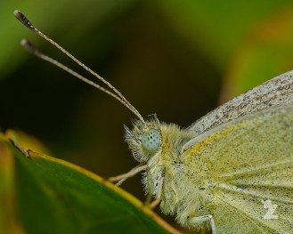 Pieris rapae [CABBAGE WHITE] New Zealand