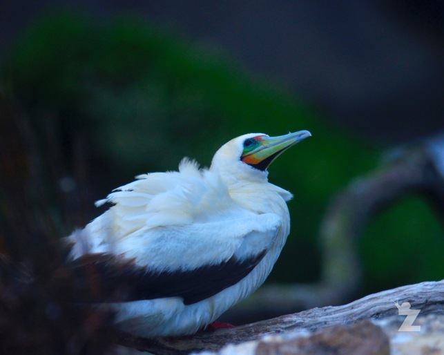 Sula sula [RED-FOOTED BOOBY] New Zealand