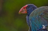Takahē: The World's Largest Living Rail: https://zoomologyblog.wordpress.com/2017/05/09/takahe-the-worlds-largest-living-rail/