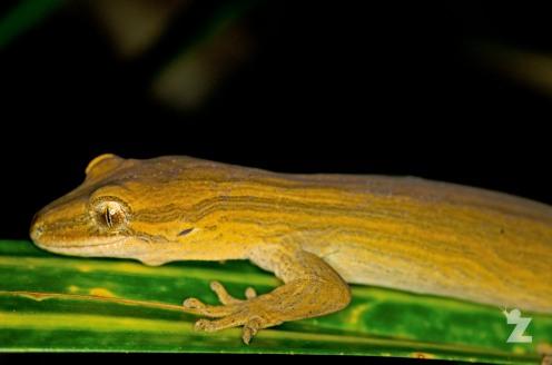 "Coromandel Striped Gecko [Toropuku ""Coromandel""]"