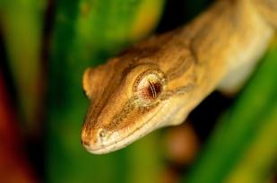 "A Rare and Elusive Species: The Coromandel Striped Gecko [Toropuku ""Coromandel""]: https://zoomologyblog.wordpress.com/2017/04/08/a-rare-and-elusive-species-the-coromandel-striped-gecko-toropuku-stephensi/"