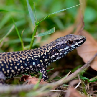 Common Wall Lizards Basking in Basque Country: https://zoomologyblog.wordpress.com/2017/08/12/common-wall-lizards-basking-in-basque-country/