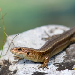 Zootoca vivipara [♀ VIVIPAROUS LIZARD] Crooks Peak, England 27