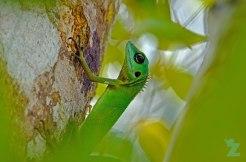 Bronchocela cristatella [GREEN CRESTED LIZARD] Malaysia