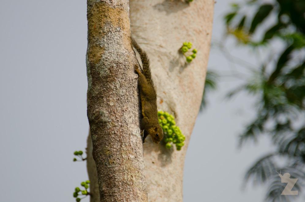 Callosciurus notatus [PLANTAIN SQUIRREL] Malaysia
