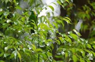 Chloropseidae [LEAF BIRD] Malaysia